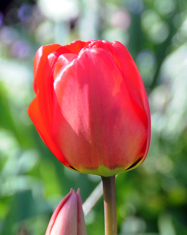 SOLD OUT Apeldoorn Darwin Hybrid Tulip - 10 bulbs