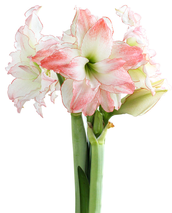 SOLD OUT Aphrodite Jumbo Amaryllis Bulb