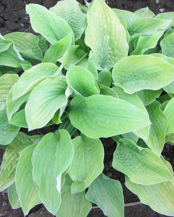SOLD OUT August Moon Hosta - 3 root divisions