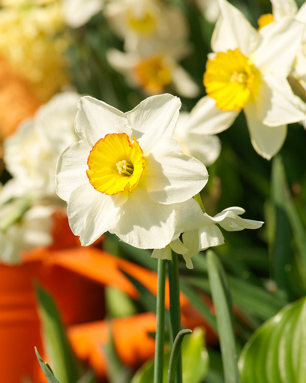 Barret Browning Small Cup Daffodil - 10 bulbs