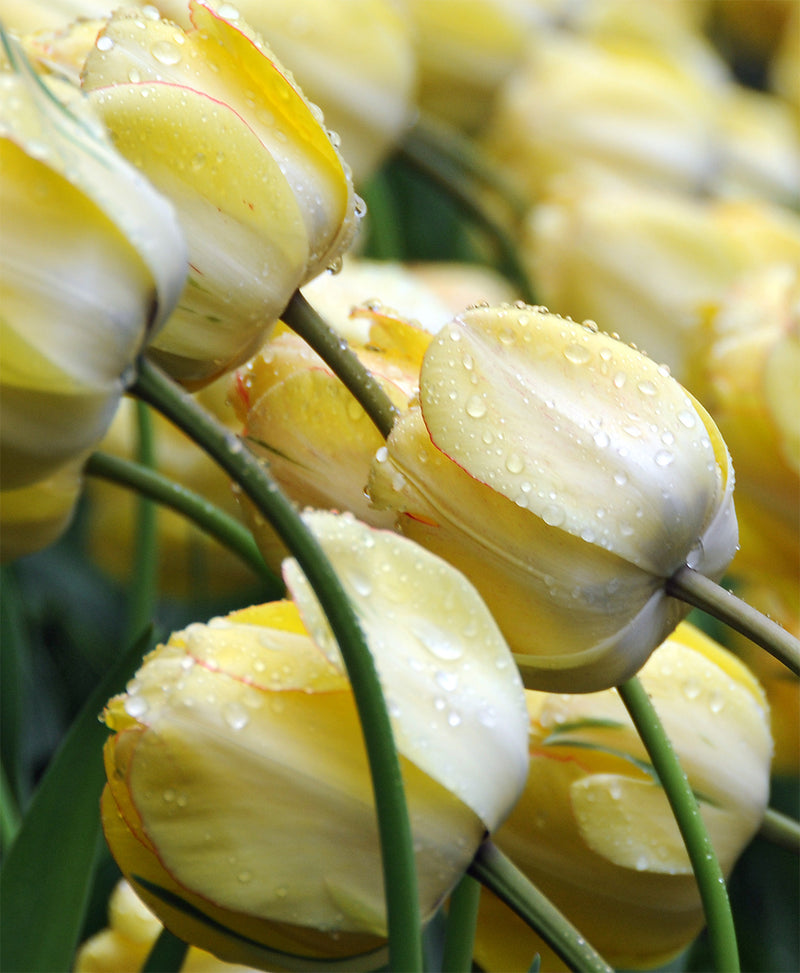 SOLD OUT Beauty of Apeldoorn Darwin Hybrid Tulip - 10 bulbs