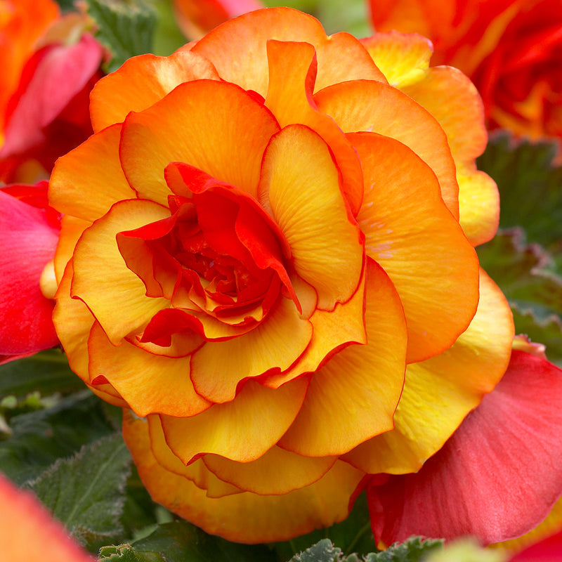 SOLD OUT Sunburst Picotee Begonia - 3 tubers