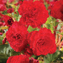 Red Ruffled Begonia - 3 tubers