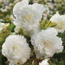 SOLD OUT White Ruffled Begonia - 3 tubers