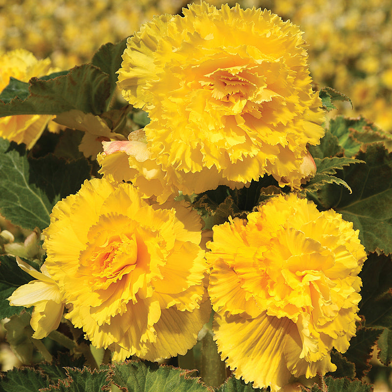 Yellow Ruffled Begonia - 3 tubers