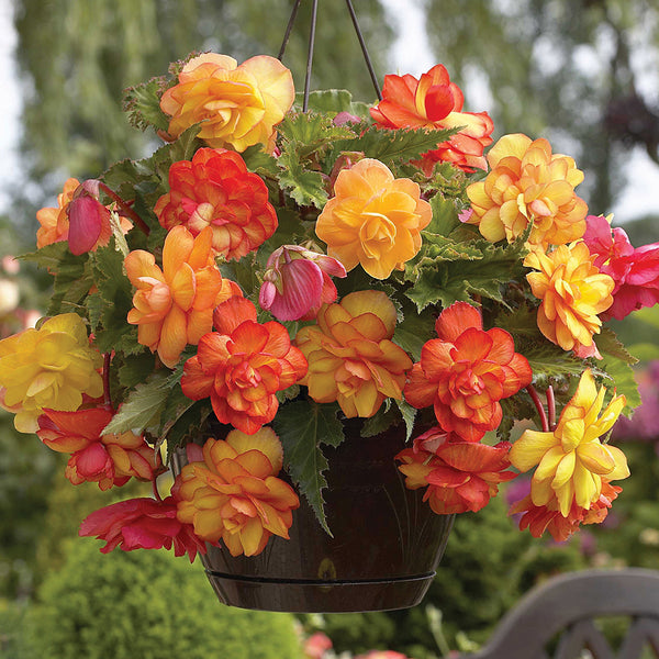 SOLD OUT Golden Balcony Begonia - 3 tubers