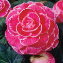 SOLD OUT Pink Picotee Lace Begonia - 3 tubers