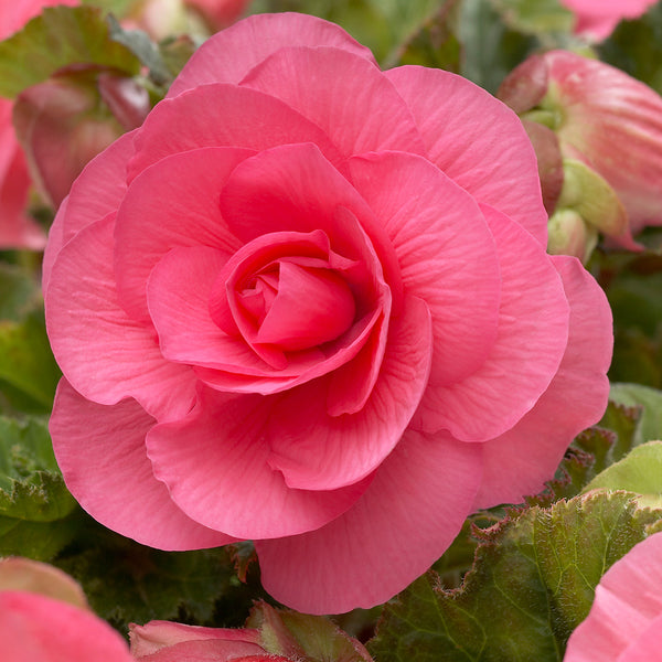 SOLD OUT Pink Roseform Begonia - 3 tubers