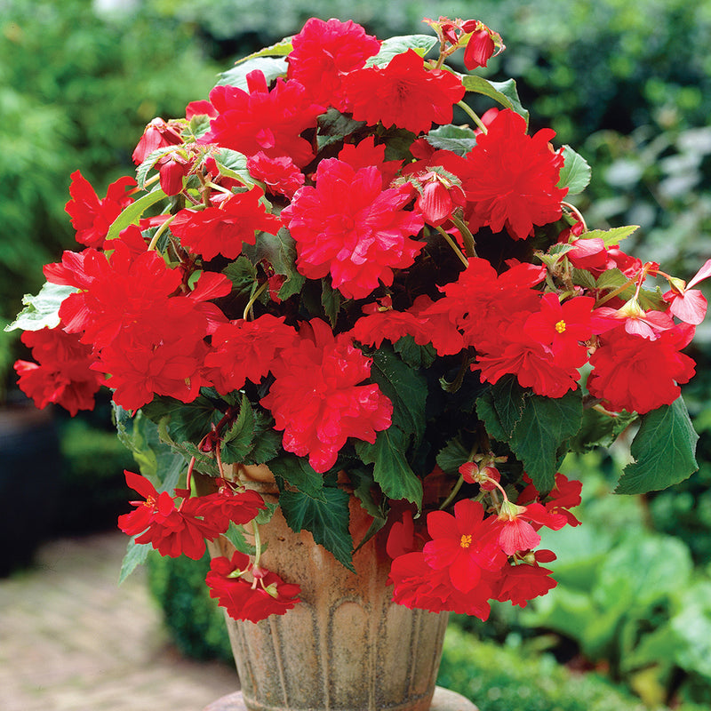 Red Hanging Basket Begonia - 3 tubers