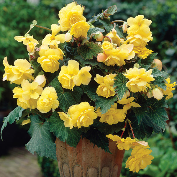 SOLD OUT Yellow Hanging Basket Begonia - 3 tubers