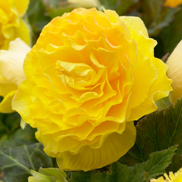 SOLD OUT Yellow Roseform Begonia - 3 tubers