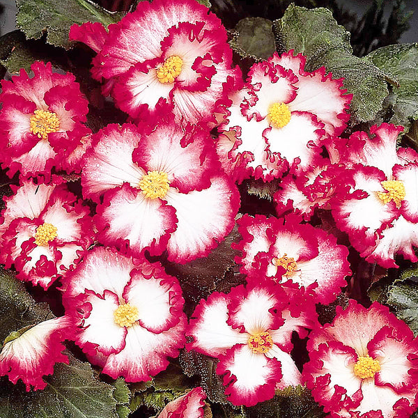 SOLD OUT Red and White Crispa Marginata Begonia - 3 tubers