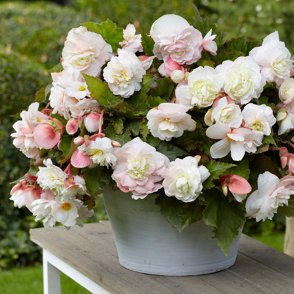 SOLD OUT White Odorate Begonia - 3 tubers