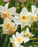 SOLD OUT Bell Song Jonquilla Daffodil - 10 bulbs