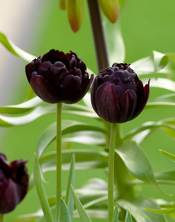 SOLD OUT Black Hero Double Late Tulip - 10 bulbs