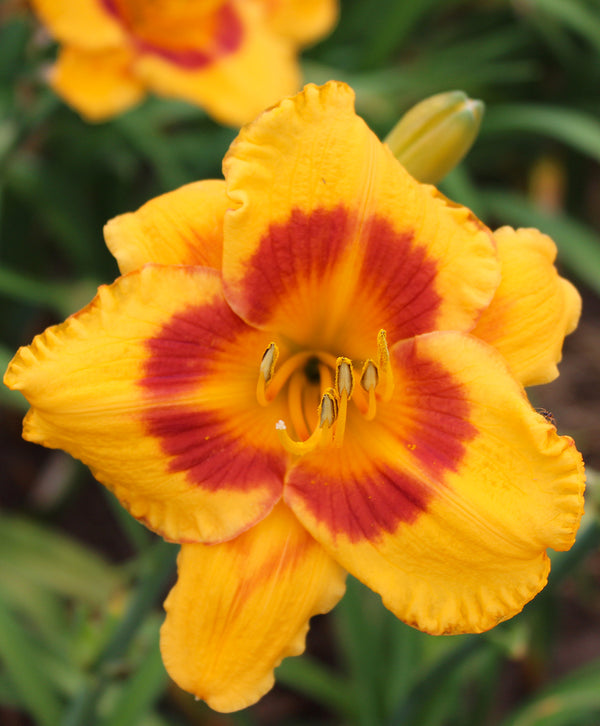 Blackberry Sherbert Daylily - 3 root divisions