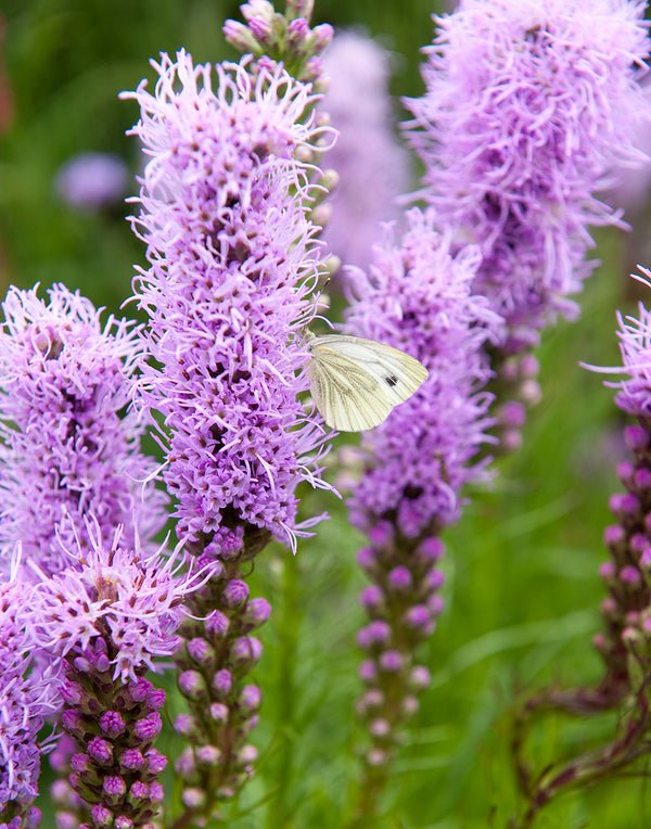 SOLD OUT Blazing Spicata Liatris - 25 bulbs