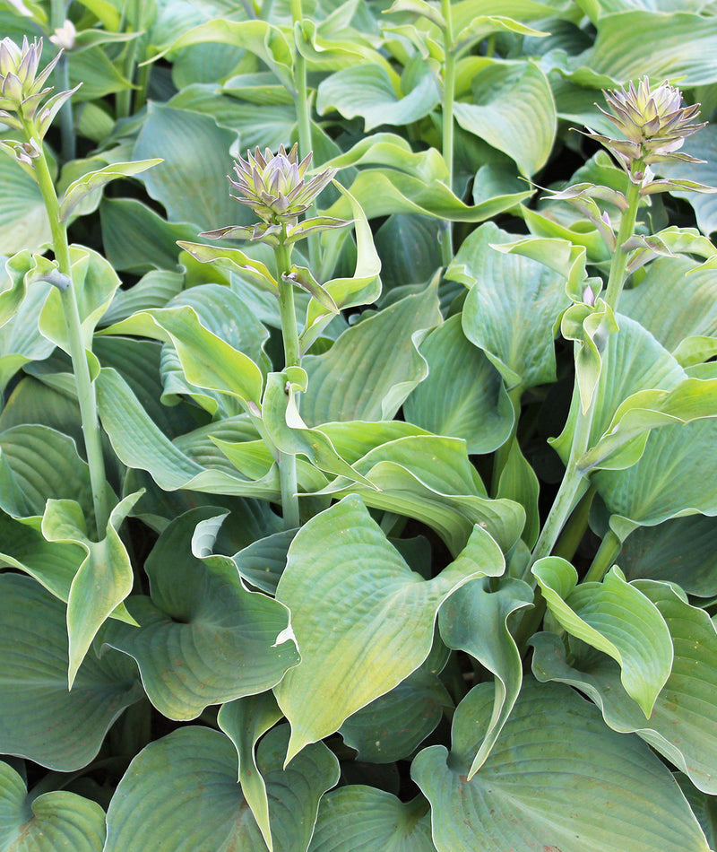 SOLD OUT Blue Angel Hosta - 3 root divisions