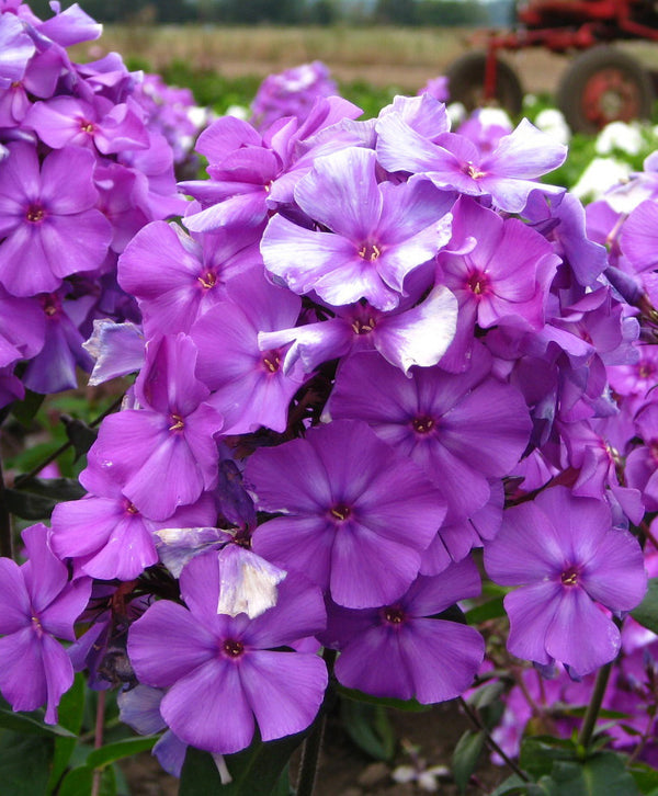 Blue Paradise Tall Summer Phlox - 3 root divisions
