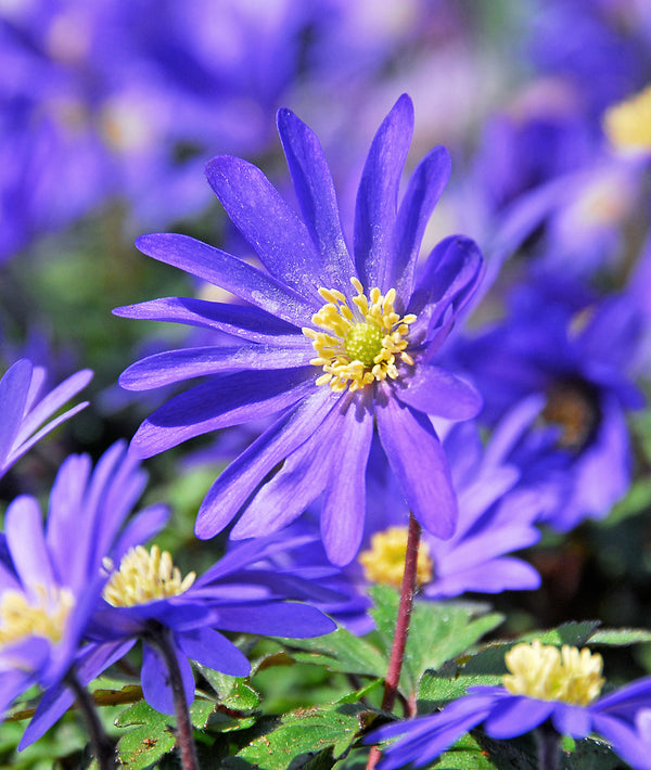 SOLD OUT Blue Shades Anemone blanda - 25 bulbs