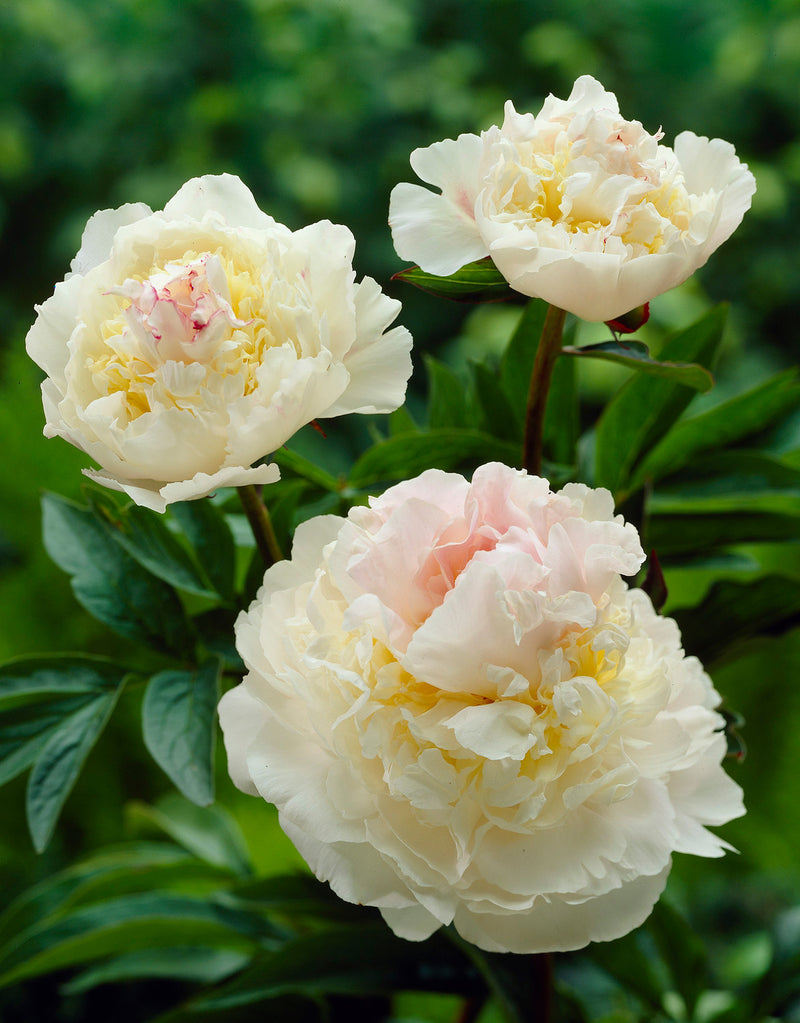 SOLD OUT Blush Queen Peony - 1 root division