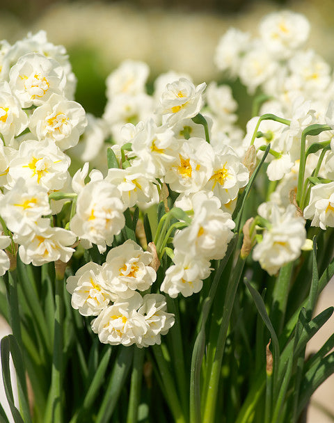 Bridal Crown Double Daffodil - 10 bulbs