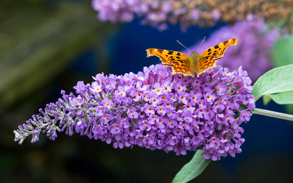 Butterfly Bush Blue- 1 Bareroot plant