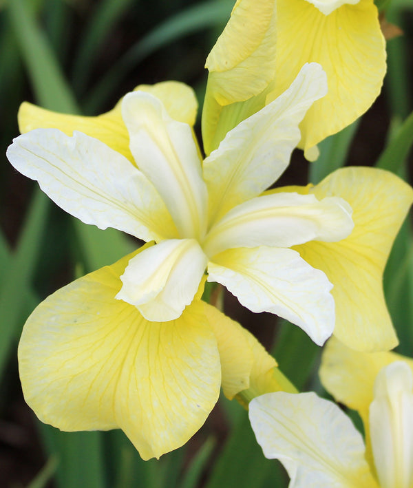 Butter and Sugar Siberian Iris - 3 root divisions