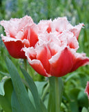 SOLD OUT Canasta Fringed Tulip - 10 bulbs