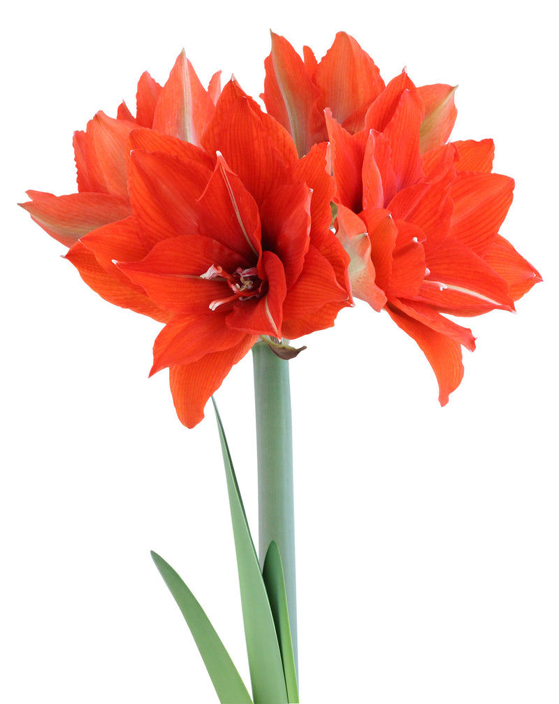 SOLD OUT Celica Regular Amaryllis - 1 bulb