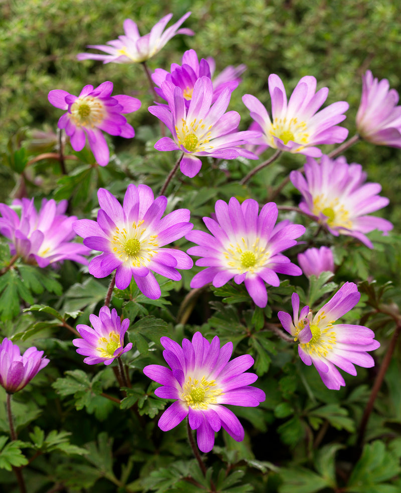 SOLD OUT Charmer Anemone blanda - 25 bulbs