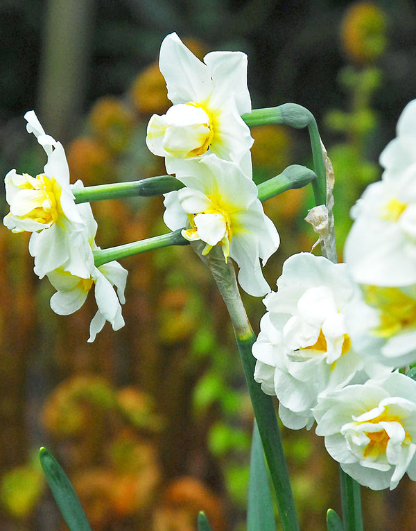 Cheerfulness Tazetta Daffodil - 10 bulbs