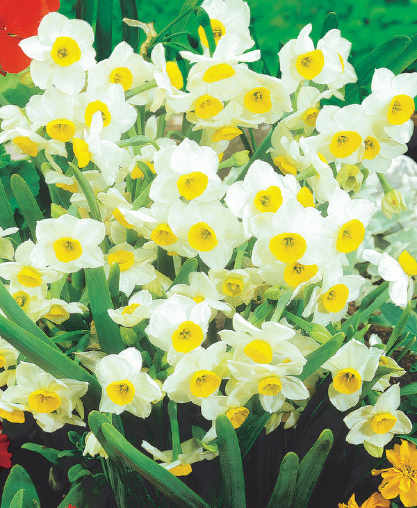Chinese Sacred Lily Paperwhites - 10 bulbs