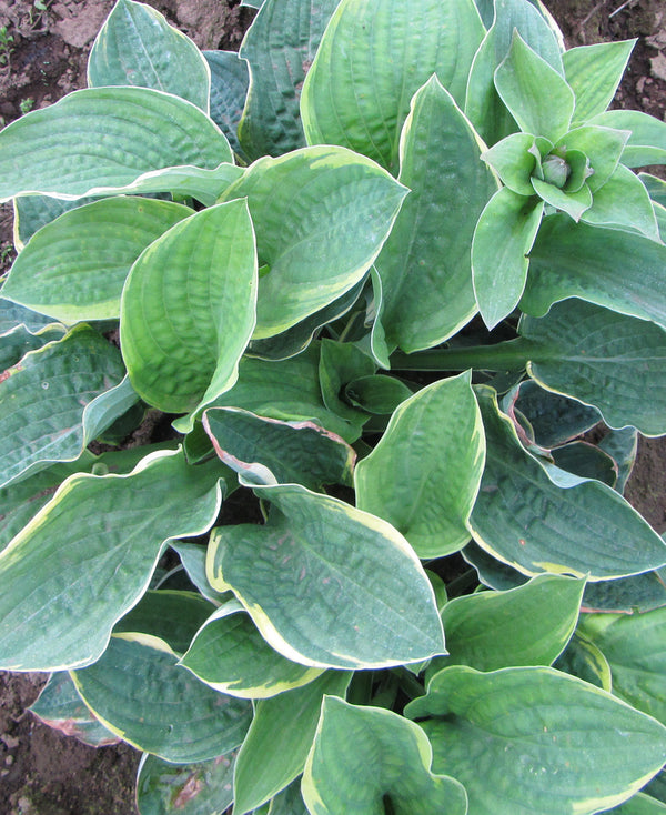 SOLD OUT Christmas Tree Hosta - 3 root divisions
