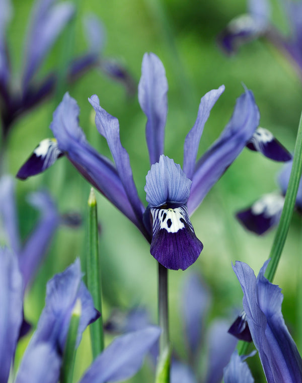 SOLD OUT Clairette Dwarf Iris - 10 bulbs