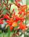 SOLD OUT Masoniorum Crocosmia - 5 bulbs