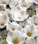 SOLD OUT Prins Claus Species Crocus - 10 bulbs