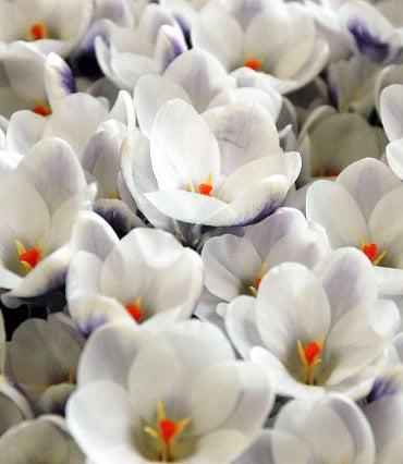 Prins Claus Species Crocus - 10 bulbs