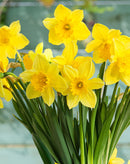 SOLD OUT Carlton Large Cup Daffodil - 10 bulbs
