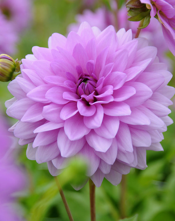 Blue Boy Decorative Dahlia - 3 root divisions