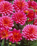 SOLD OUT Fuchsianna Karma Dahlia - 3 root divisions