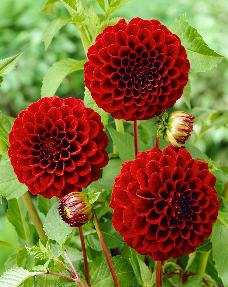 Black Diamond Ball Dahlia - 3 root divisions
