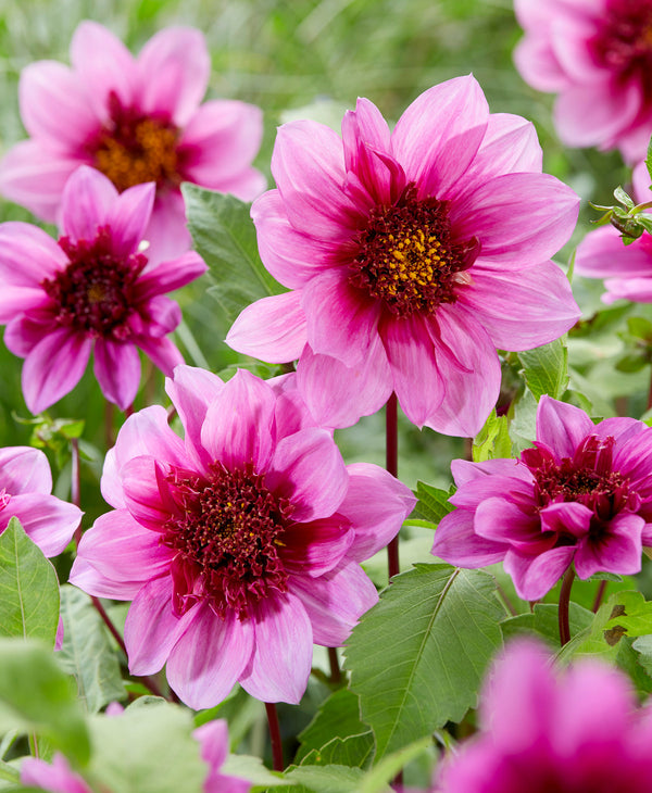 SOLD OUT Blue Bayou Anemone Dahlia - 3 root divisions