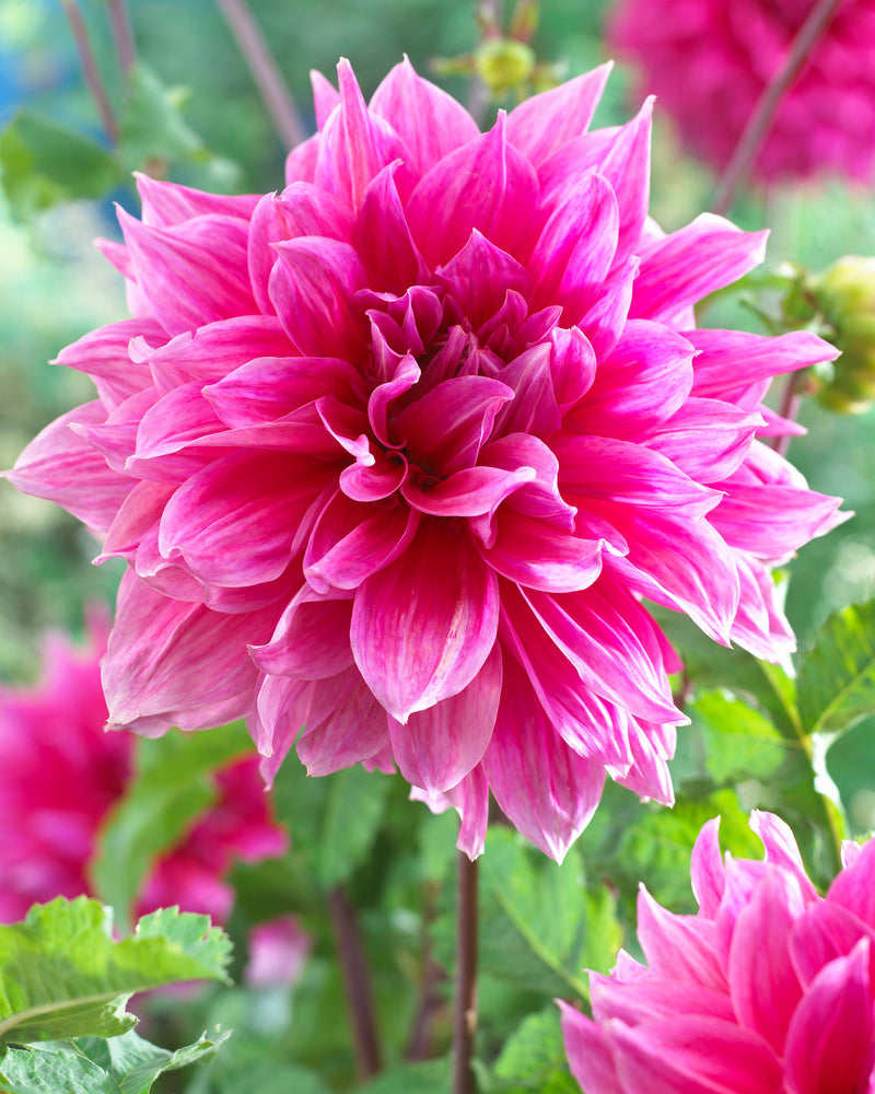SOLD OUT Emory Paul Decorative Dahlia - 3 root divisions