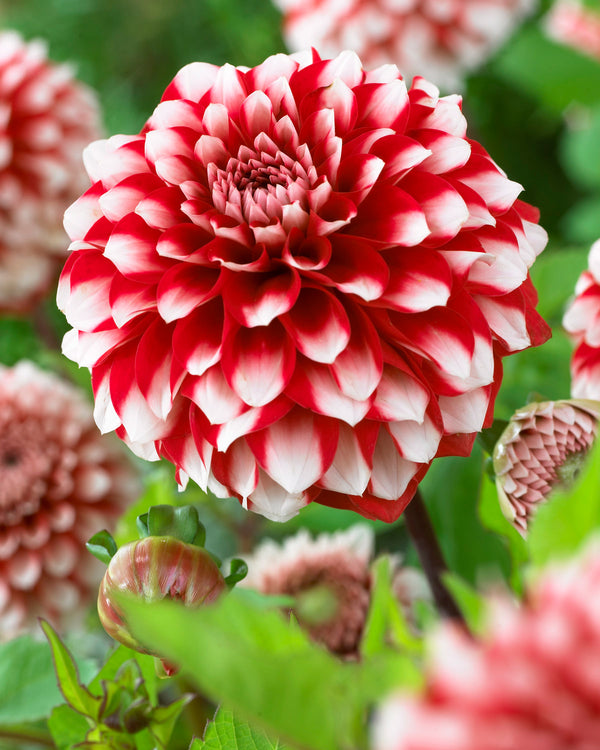 SOLD OUT Rexona Decorative Dahlia - 3 root divisions