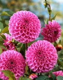 SOLD OUT Robann Regal Ball Dahlia - 3 root divisions