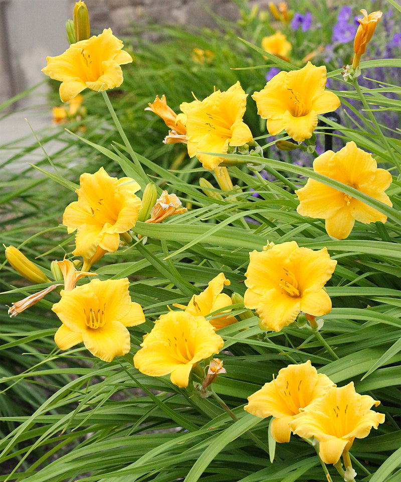 Stella de Oro Daylily - 3 root divisions