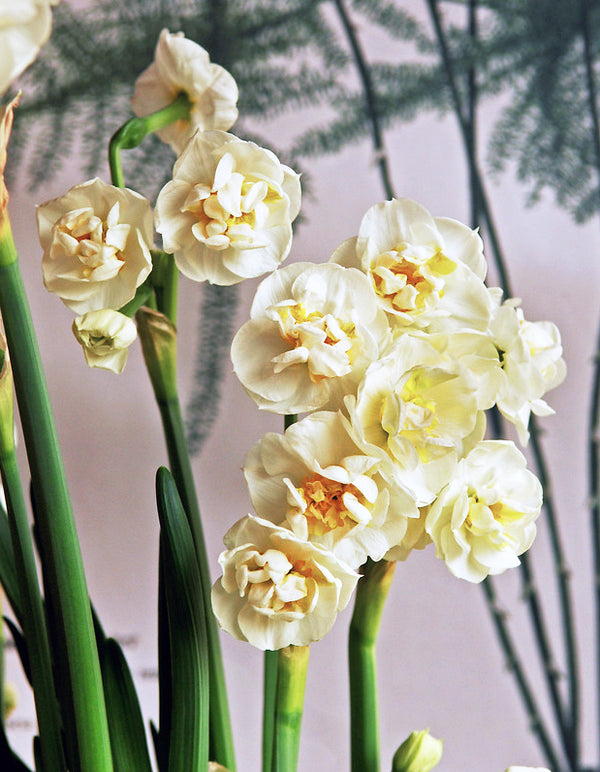 SOLD OUT Delnashaugh Double Daffodil - 10 bulbs