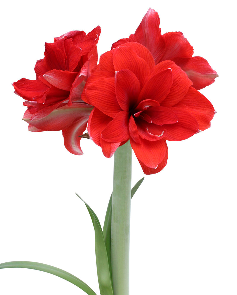 Double Dragon Amaryllis Bulb
