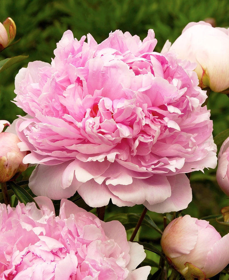 Dr. Alex Fleming Peony - 1 root division